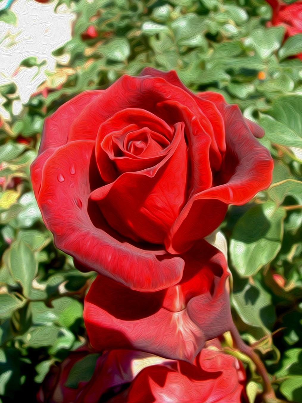 Ilustración gratis - Rosa rojo escarlata